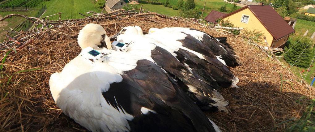 Wenige Wochen alte besenderte Jungstörche in ihrem Nest. Die weniger als 60 Gramm wiegenden Sender zeichnen die GPS-Koordinaten sowie die Beschleunigu