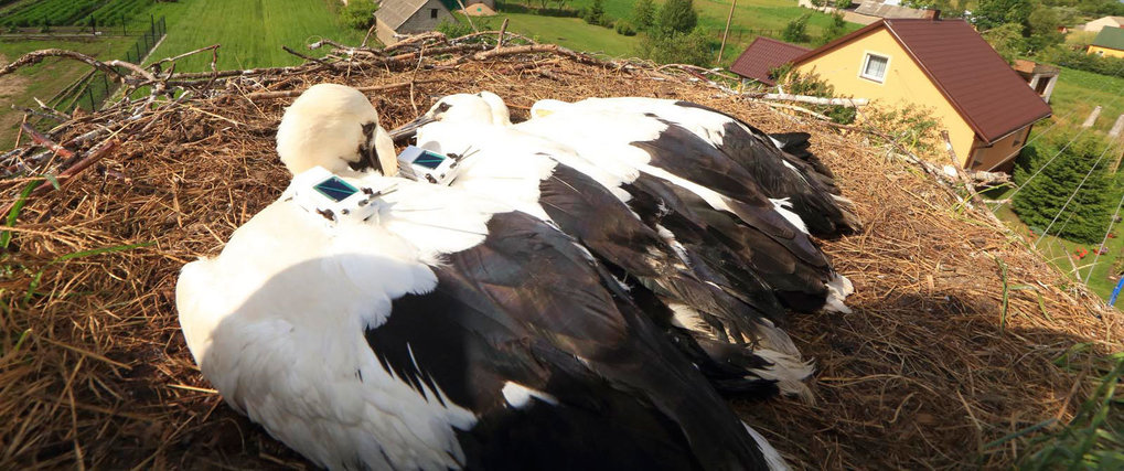 Storks on the wing
