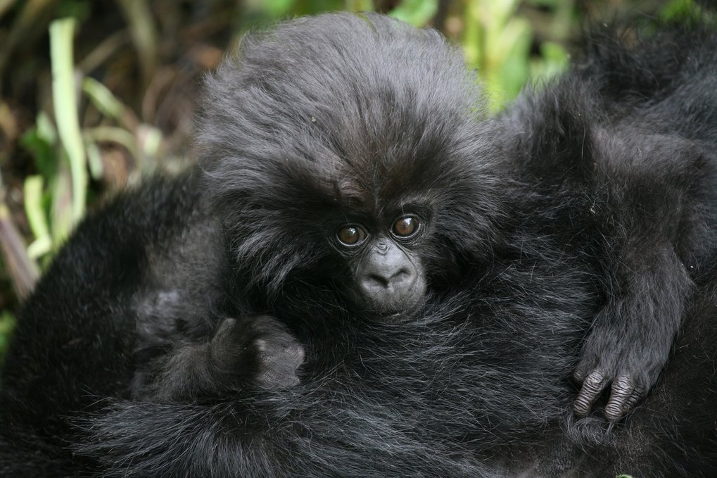 Number of wild mountain gorillas exceeds 1000