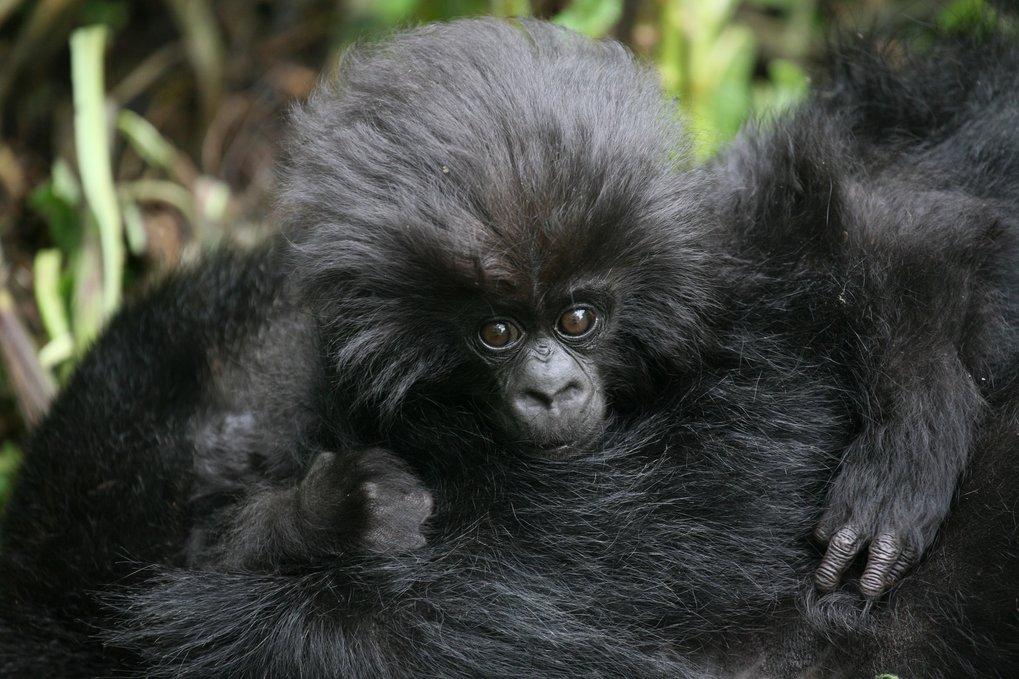 Grund zur Freude: Der jüngsten Zählung zufolge leben mehr als 600 Berggorillas im Virunga-Vulkan-Gebiet, mehr als doppelt so viele wie noch vor dreißi