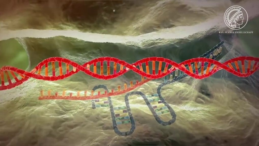 With the help of the CRISPR/Cas9 systems, the genomes of the most various organisms can be edited. But how does the new gene technology with the unpronounceable name work?