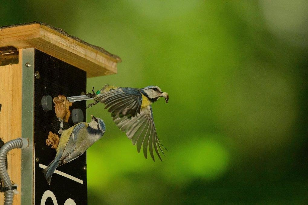 Ein Gelege kann bis zu 15 Nestlinge umfassen. Viel Arbeit für die Eltern, genügend Futter für alle zu finden.