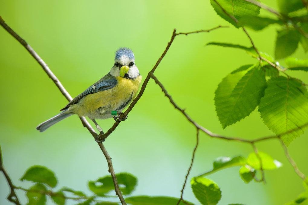 Nachdem dem Verschwinden des Partners nehmen die Nestbesuche des verbleibenden Elternteils zu. Oft überlebt auch zumindest ein Teil der Brut.