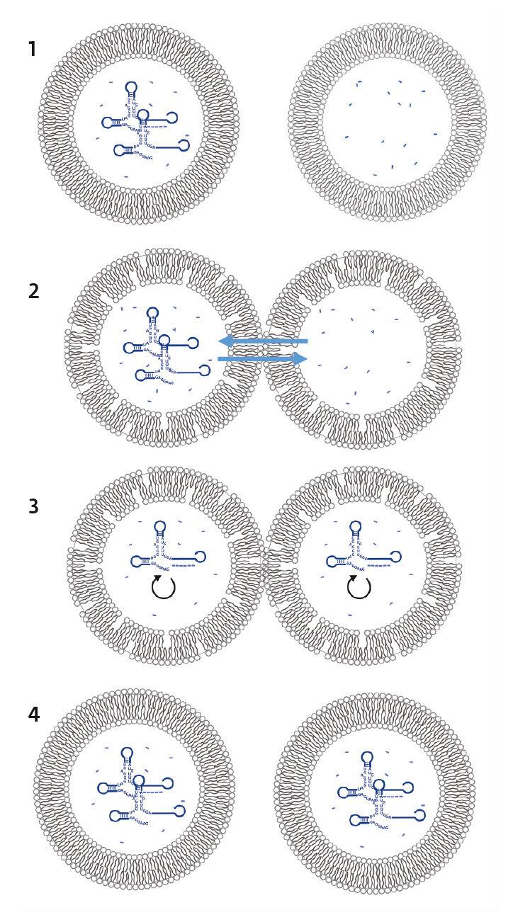 1: Eine Protozelle mit (links) katalytisch wirkenden RNA-Molekülen (Ribozyme) und ohne Ribozyme (rechts). 2: Im gefrorenen Zustand tauschen die Zellen