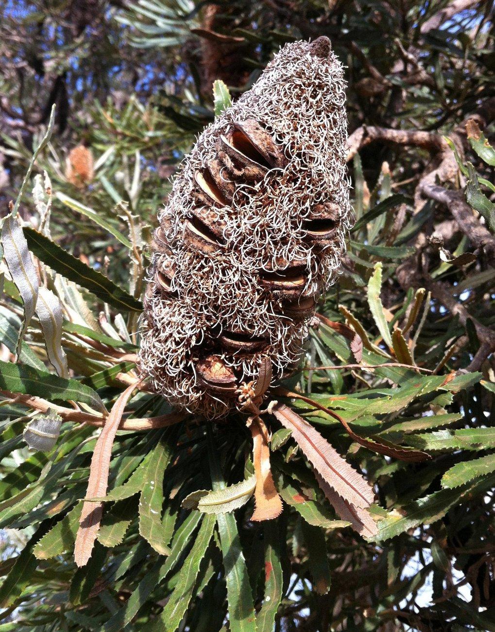 Reife Frucht von Banksia attenuata aus Westaustralien nahe Perth. Die Pflanzen dieser Art öffnen viele ihrer Samenkapseln auch ohne Feuer. Dies geschi