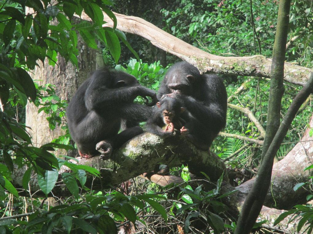 Schimpansen betreiben am liebsten mit Weibchen Fellpflege, die ein Baby haben, oder mit ihren Freunden.