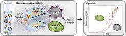 <strong>Abb. 3:</strong> Bevorzugte Aggregation von Antikörpern auf U-937 Zielzellen in Mischung mit KARPAS-299 Zellen. Modellvorhersagen decken sich