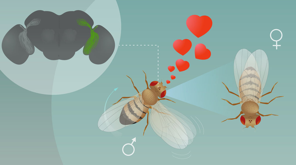 LC10 visual projection neurons are essential to recognize and visually track a female fruit fly during courtship.