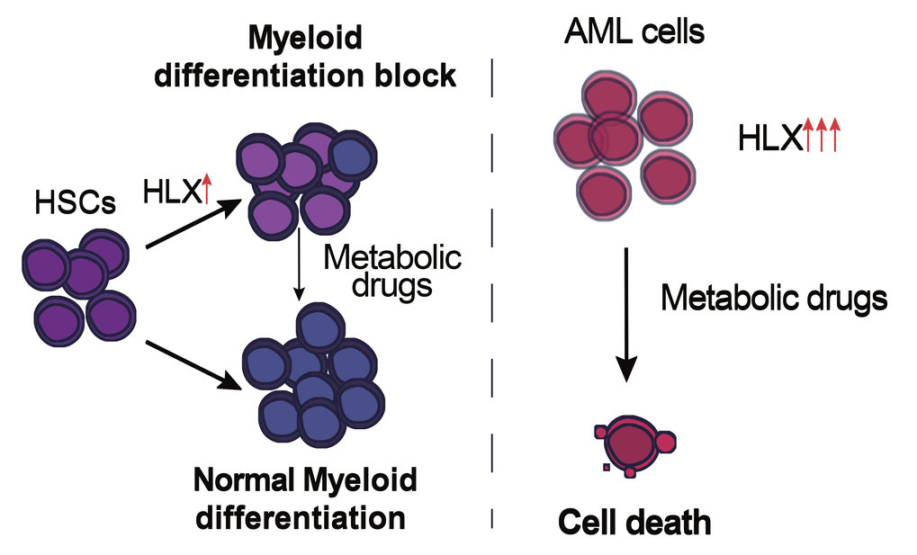T<span>he role of HLX overexpression in myeloid differentiation (left), and in maintaining the metabolic status of cancerous cells (AML).</span>