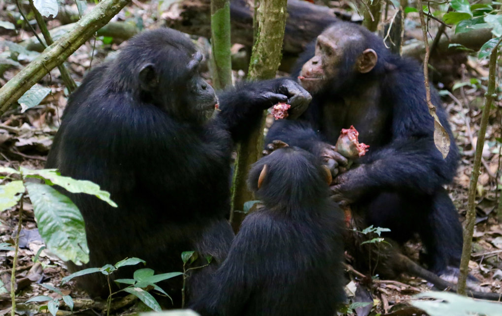 Wild chimpanzees cooperate in hunting