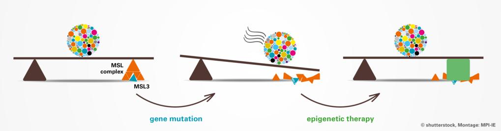 Mutationen im MSL3-Gen (blaues Dreieck) führen zu einer Fehlregulation der enzymatischen Aktivität des MSL-Komplexes. Dieser ist für die Acetylierung