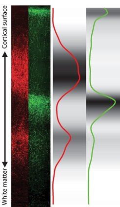 Thalamic input to a cortical column. Synaptic boutons from two thalamic nuclei contacting cortical neurons have been labeled with fluorescent markers (left panel; red: VPM nucleus, green: POm nucleus) and imaged with confocal microscopy. The density distribution of thalamic boutons in a cortical column has been quantified (right panel).