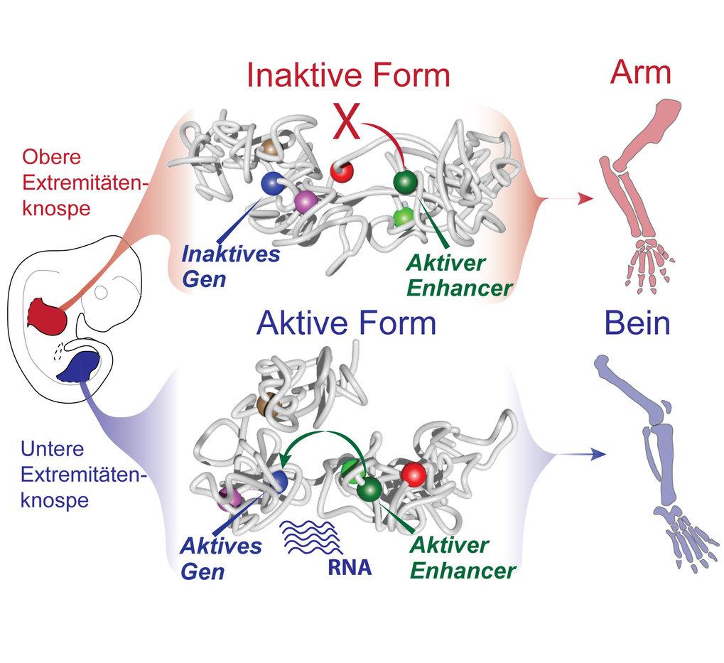 """Änderungen in der 3D-Struktur des Chromatins als Voraussetzung für die Entwicklung von Armen und Beinen.<span style=""""color: #cc0000;""""><br /></span>"""