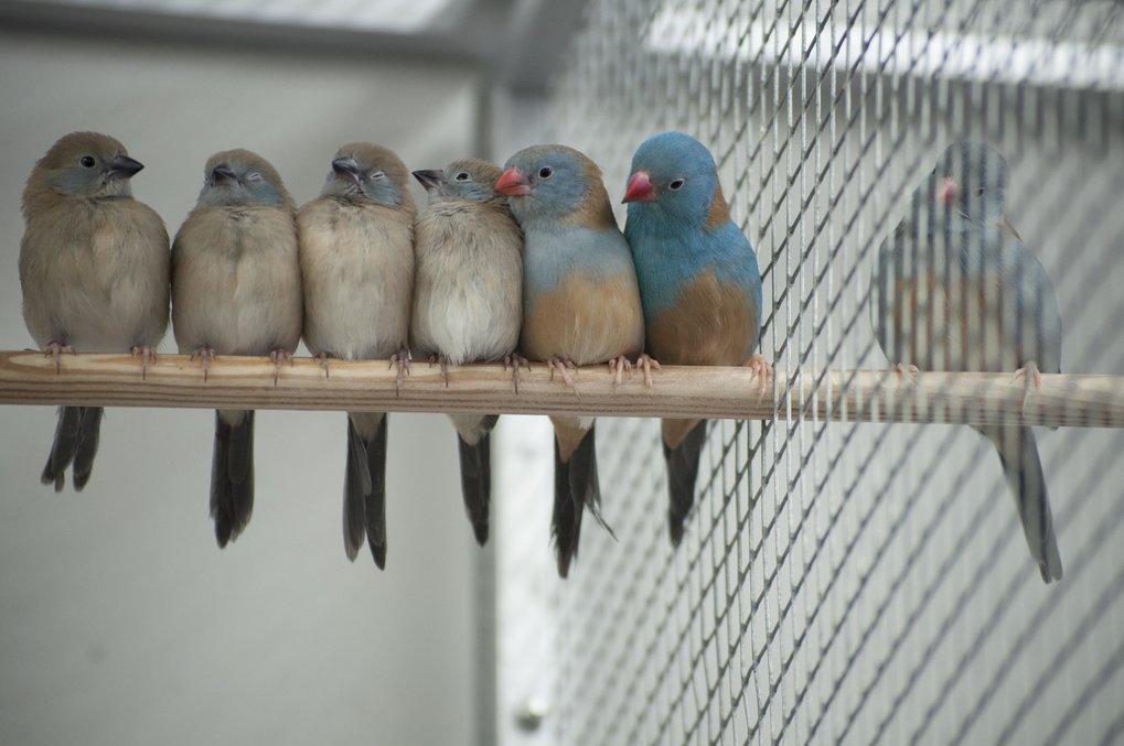 Familie von Blaukopf-Schmetterlingsfinken mit (von links nach rechts) Jungtieren, Weibchen und Männchen.
