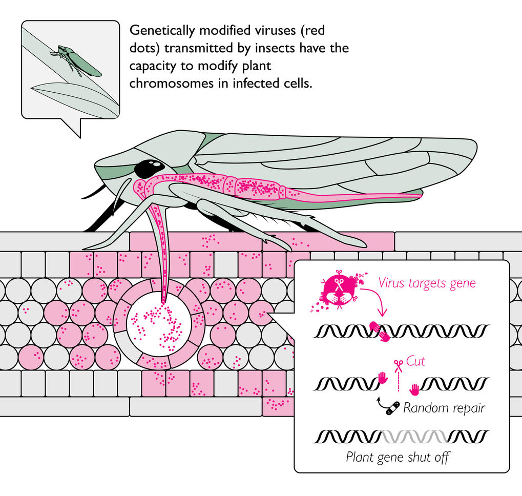 The program aims to develop virus-transmitting insects that infest crops. With teh help of the genome editing tool Crispr-Cas the viruses can modify t