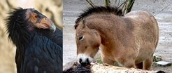 Two examples of the success of captive breeding in supporting species  protection: the Asiatic wild horse (Przewalskis horse) and the  Californian condor, both whose risk status has been downgraded thanks to  breeding at zoos.