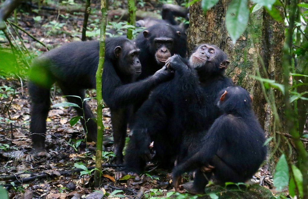 Wild chimpanzees share food with friends