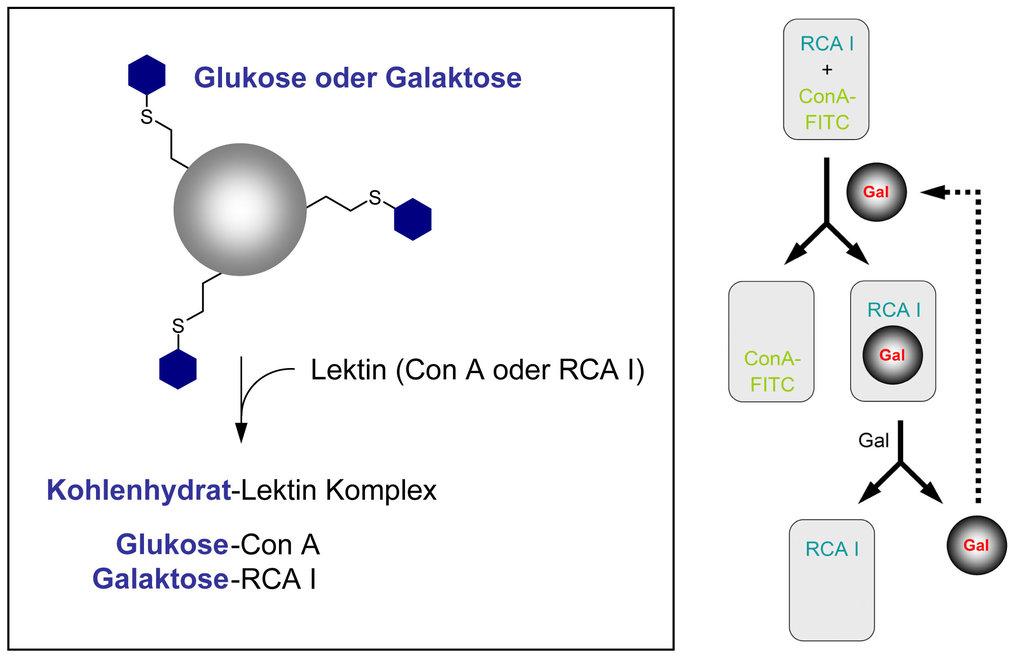 Trennung eines Lektingemisches mit zuckerfunktionalisierten Polymerpartikeln.