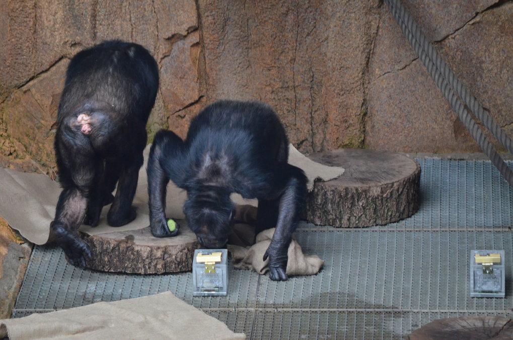 Schimpansen erkennen Gruppenmitglieder und Verwandte am Geruch.