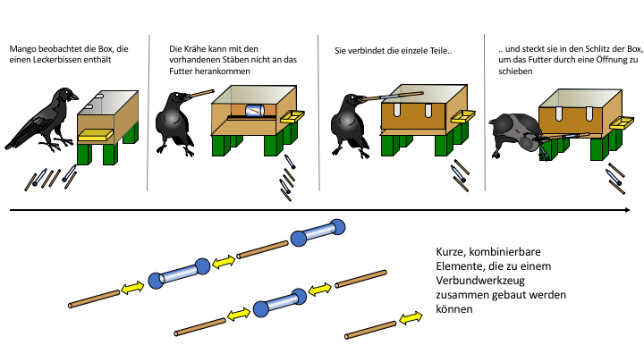 The crows only were able to reach and extract the food if they partially inserted one piece into another and used the resulting longer compound pole