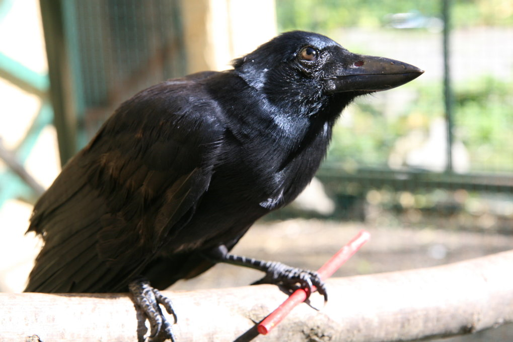 New Caledonian crows can create compound tools