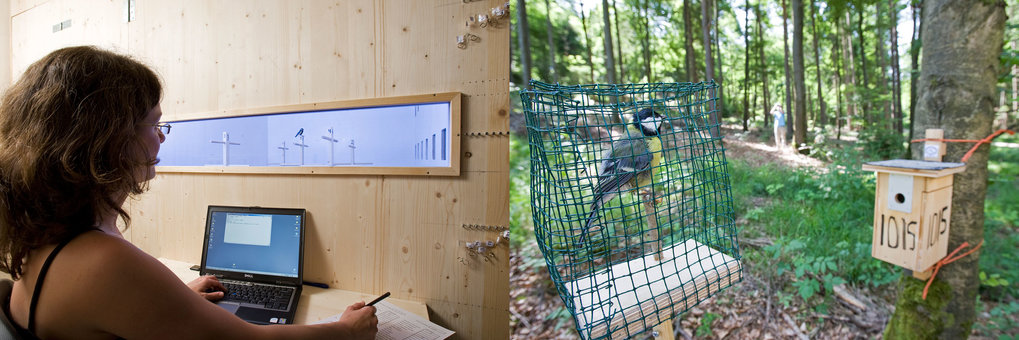 Beispiele für Laborstudien (links) und Studien im Freiland (rechts),  um die Komponenten der Persönlichkeit freilebender Kohlmeisen zu  untersuchen. D