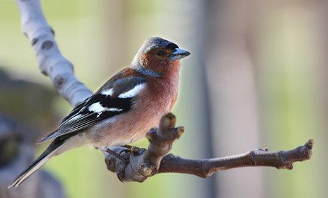 <strong>Abb. 2</strong>: Ein Buchfinkenmännchen während der Fortpflanzungszeit. Territoriale Buchfinken reagieren aggressiv auf den Gesang von anderen