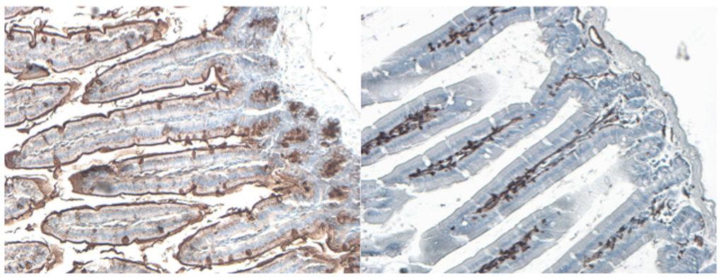B4galnt2-Expressionsmuster im Dünndarm von Mäusen mit  Wildtyp-Allel (links) und Mutanten-Allel mit Expression des Gens in den  Blutgefäßen (rechts).