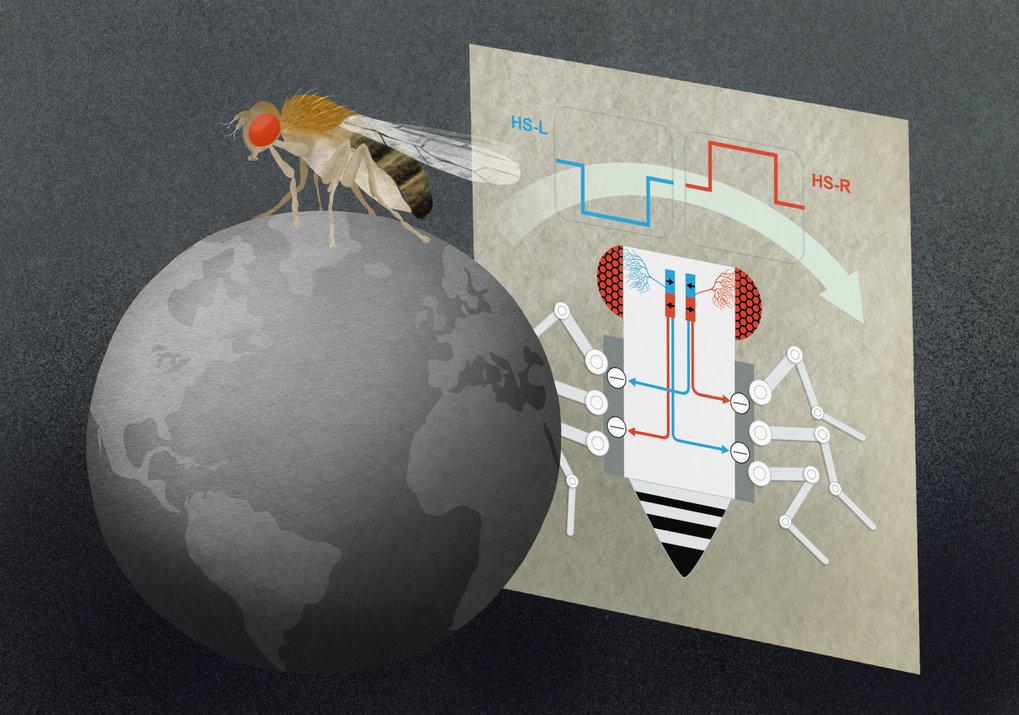 HS-Zellen im Fliegenhirn reagieren auf großflächige, horizontale Bewegungen der Umwelt. Mit diesen Informationen können die Zellen die Beine der Flieg