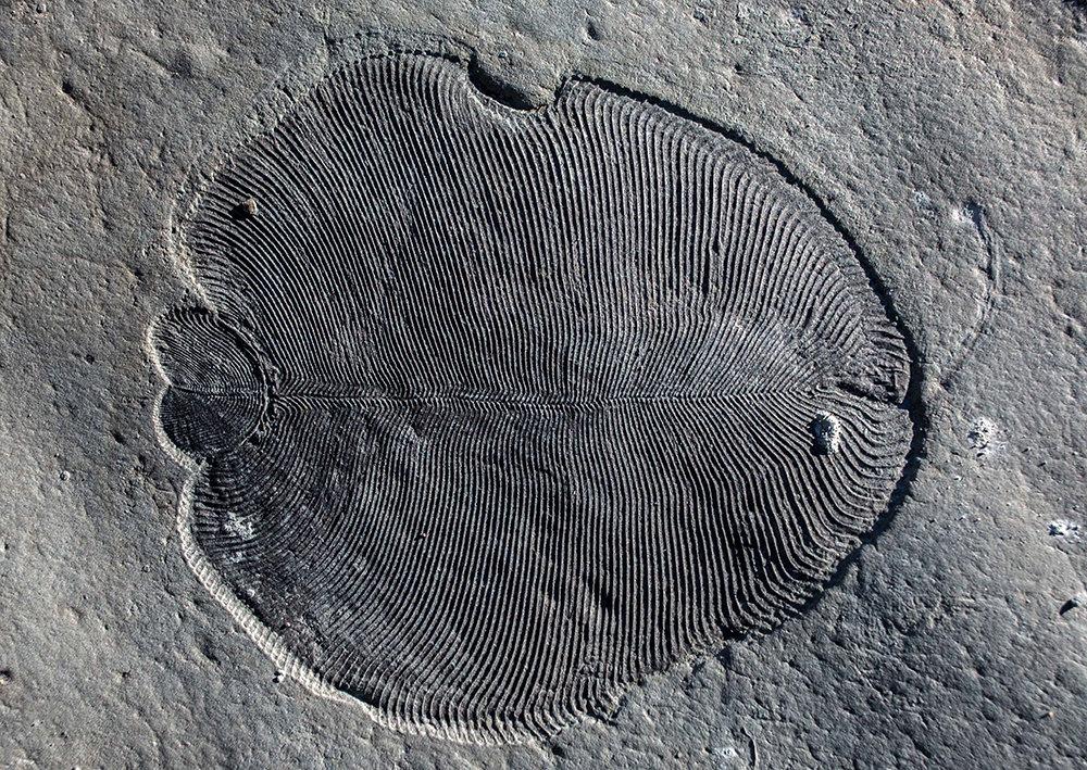 Ob es sich bei dem urzeitlichen Lebewesen Dickinsonia um ein Tier, eine Flechte oder einen Protisten, eine ausgestorbene Form großer Einzeller, handel