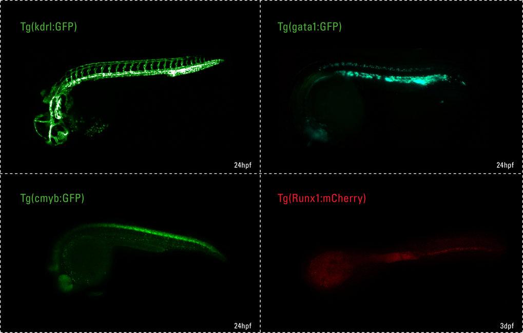 Abb. 1: Aufnahmen von transgenen Zebrafischen. Mithilfe von Fluoreszenzmarkern (GFP, mCherry) wurden verschiedene Zelltypen zu unterschiedlichen Entwi