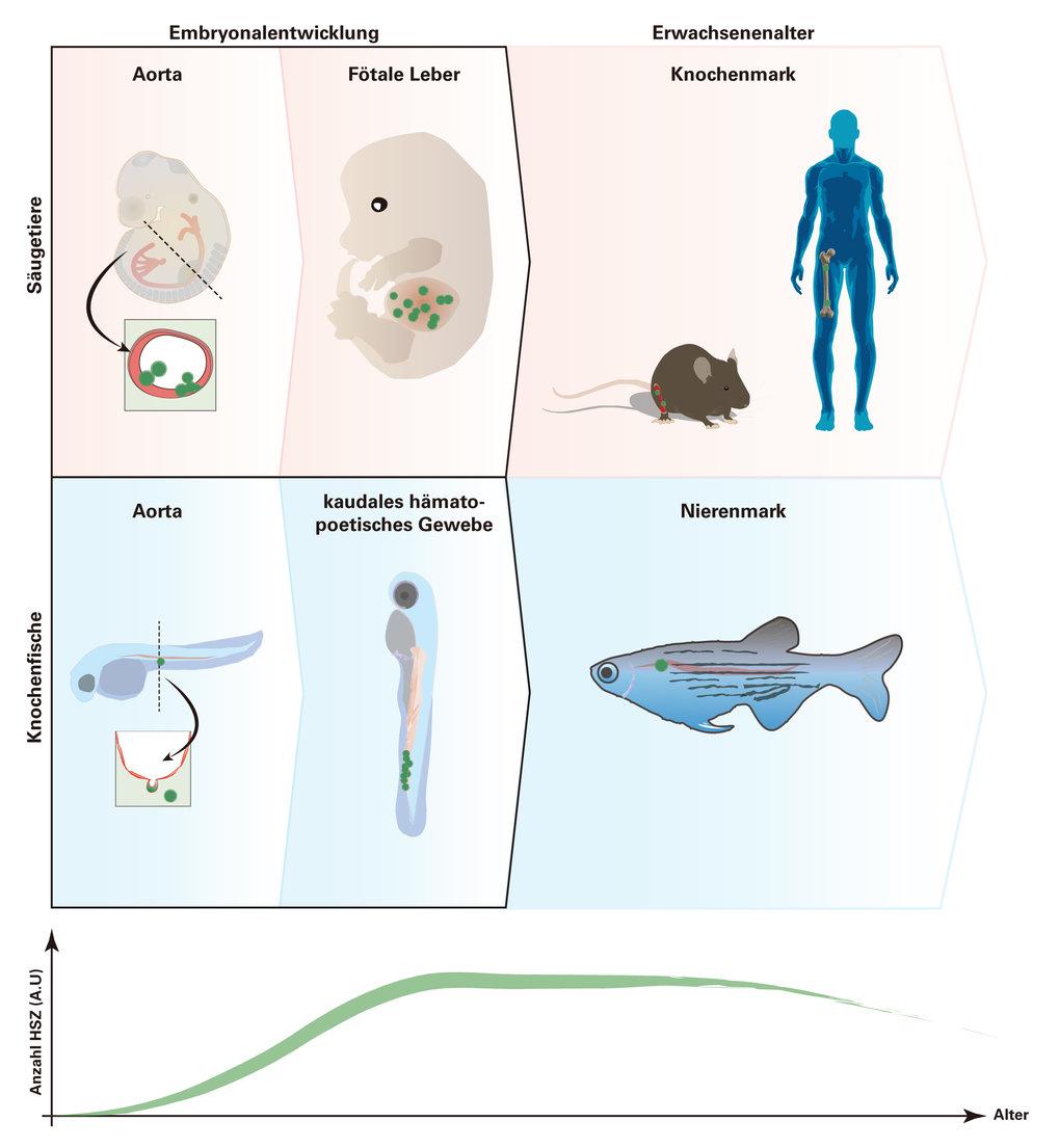 Abb. 2: Wichtige Orte der Bildung und des Aufenthalts von hämatopoetischen Stammzellen (HSZ) bei Säugetieren und Knochenfischen. Der Prozess der Entwi