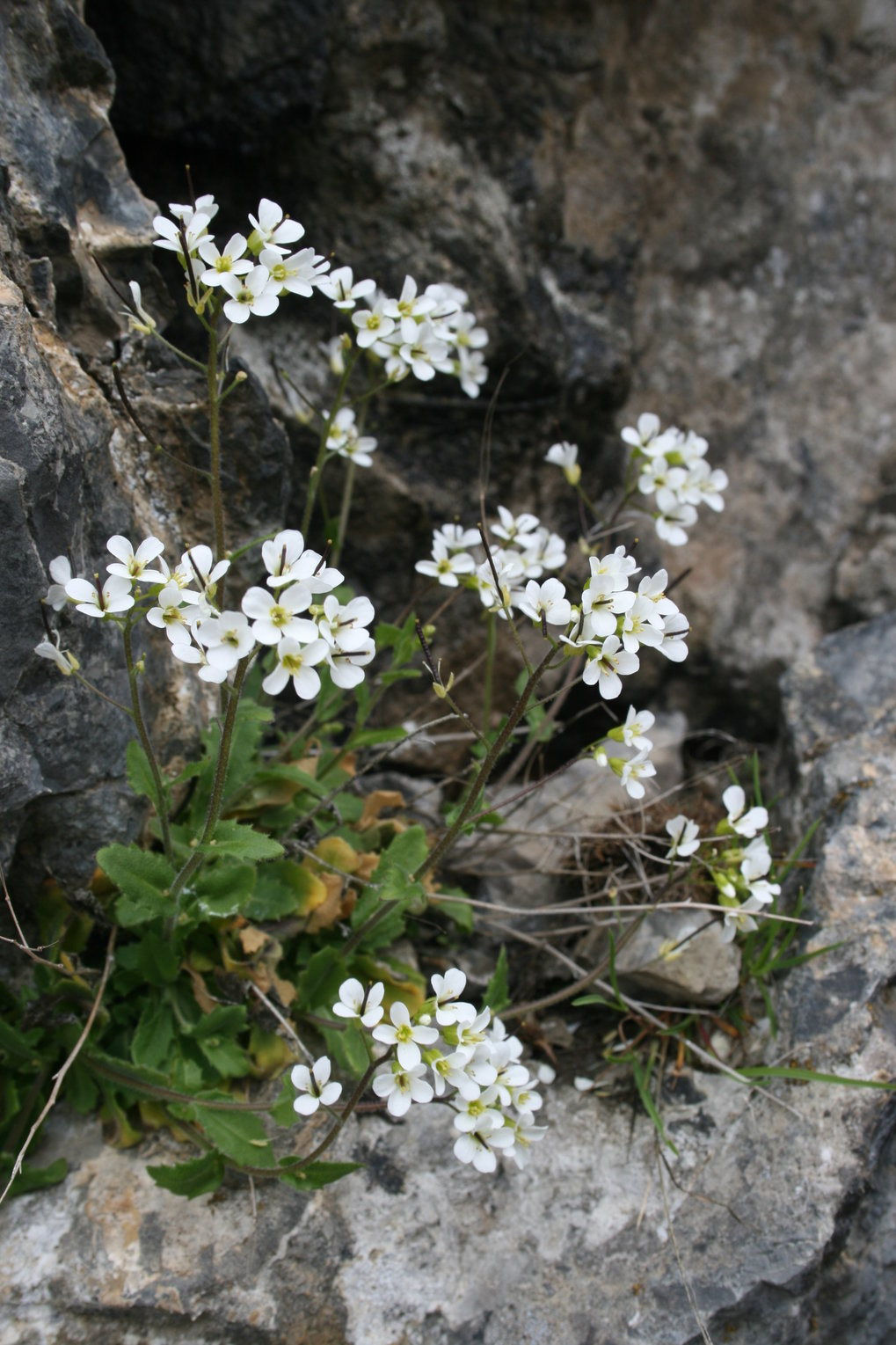 The alpine rock-cress is a perennial herbaceous species which can be found up to 3000 meters above sealeavel. A sophisticated genetic mechanism ensure
