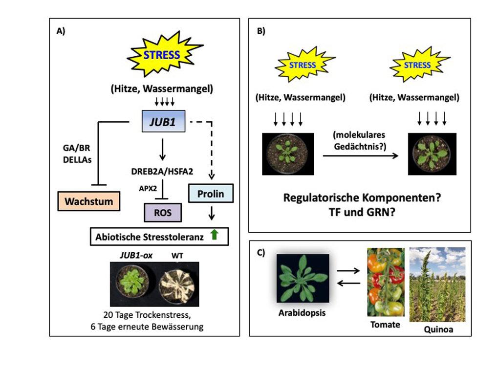 Abb. 1: Reaktion von Pflanzen auf abiotischen Stress. (A) Der Transkriptionsfaktor JUB1 kontrolliert zelluläre Prozesse, die sowohl das pflanzliche Wa