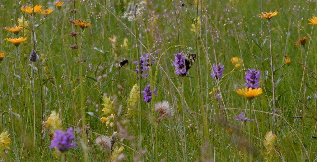 Artenreiche Wiesen sind die Grundlage für das Überleben vieler Insekten.