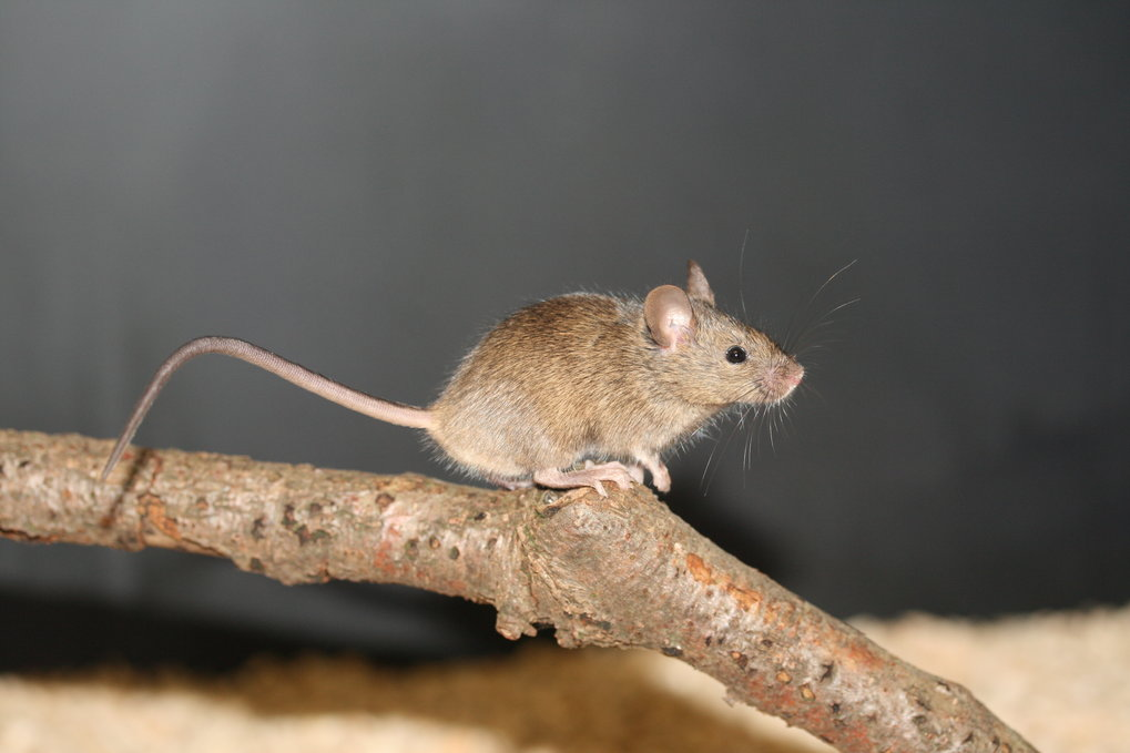 Kaum ein Tier hat sich so gut an die von uns geschaffenen Lebensräume angepasst wie die Hausmaus – für Diethard Tautz lag es also nahe, die kleinen Na