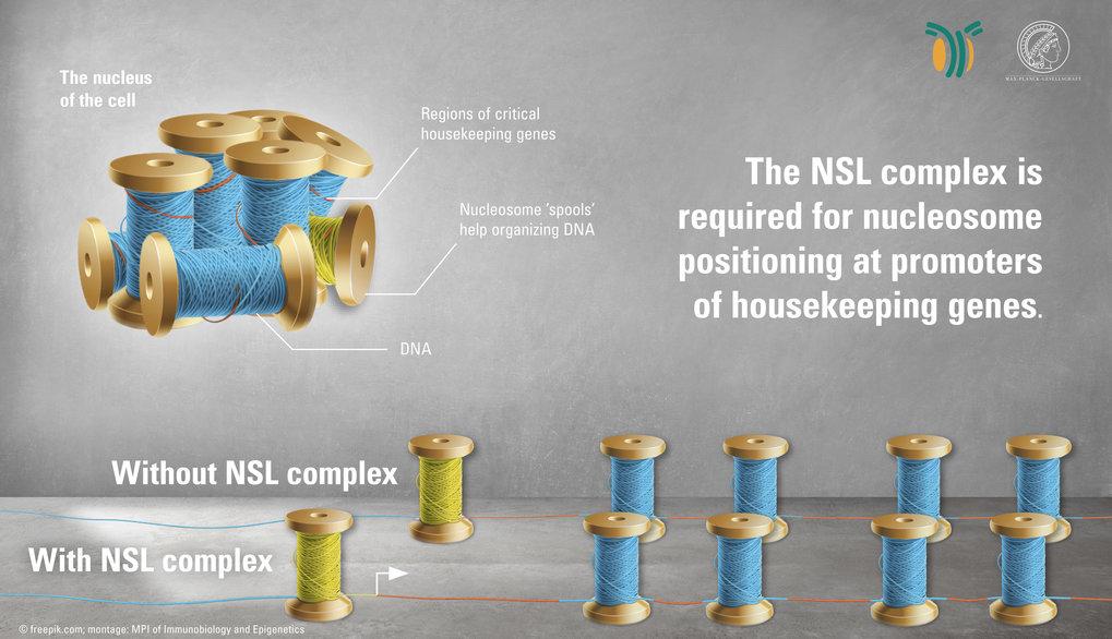 Schematisches Modell der Aktivität des NSL-Komplex. Dieser wird benötigt zur korrekten Positionierung der Nukleosome an den im gesamtem Drosophila-Gen