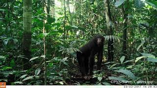 Chimpanzees, gorillas, and bonobos behave differently in front of camera