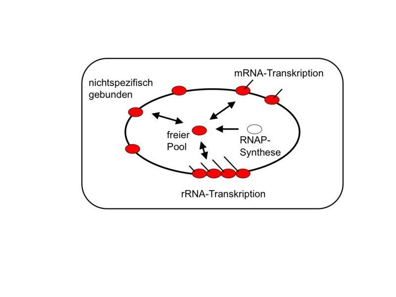 Pausen in der Transkription können Staus der RNA-Polymerasen  verursachen (hinter der blauen RNA-Polymerase). Solche Pausen müssen  unterdrückt werden