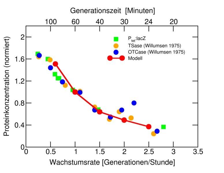 Theoretisch vorhergesagte Wachstumsratenabhängigkeit der  Proteinkonzentration für ein unreguliertes Gen und experimentelle  Bestätigung.