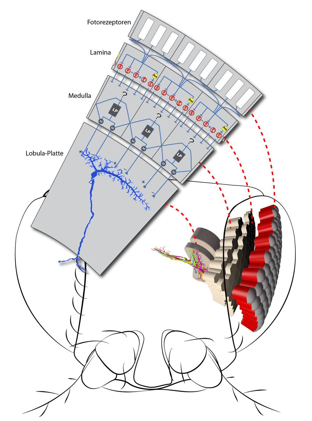 Der auf Bewegungen reagierende Teil des Sehsystems der Fliege kann in  vier Bereiche unterteilt werden: (1) Fotorezeptoren nehmen die Umwelt  wahr und
