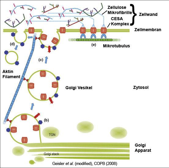 Schematische Darstellung der Zellwandsynthese in Arabidopsis. Zellulosesynthase-Komplexe (CESAs) werden in Golgi-Vesikeln zur Plasmamembran transporti