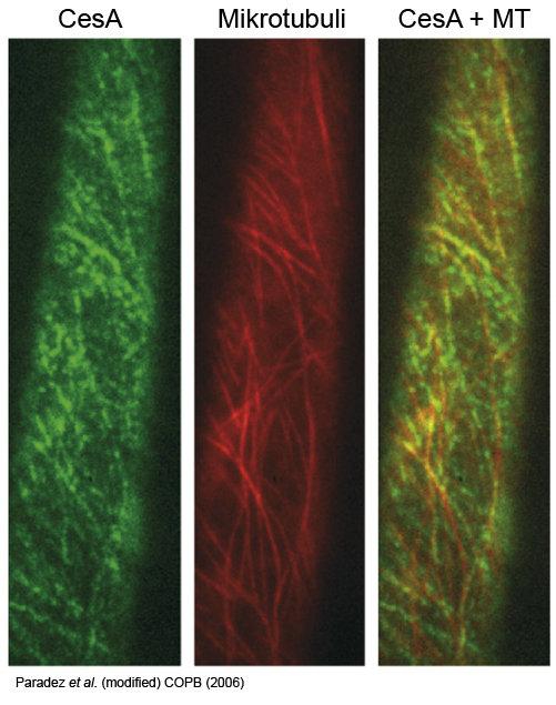 Fluoreszenzmarkierte Mikrotubuli und Zellulosesynthase-Komplexe (CESAs). Mikrotubuli und Zellulosesynthase-Komplexe (CESAs) sind co-lokalisiert. Anhan