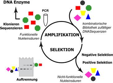 Schematische  Darstellung der In-vitro-Selektion. In einem katalytischen Prozess  werden Nukleinsäuren aus einer Zufallsbibliothek so lange sortiert u