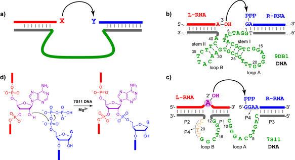 a) Schematische Darstellung eines DNA-Enzyms. Die Substrate (rot und  blau) bilden mit den Bindungsarmen (grau) Watson-Crick-Basenpaare aus.  Der kat