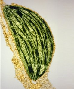The cell of a tobacco leaf. Its interior is filled with stacks of flat membrane discs (thread-like structures) that ontain the molecular machinery responsible for photosynthesis. Like mitochondria, chloroplasts have their own genome (light-colored areas).