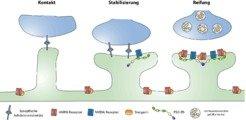 <i>Abbildung 1:</i><b><i> </i></b><i>Die Entstehung von Synapsen kann in drei Phasen eingeteilt werden. In der ersten Phase (links) findet ein Filopod
