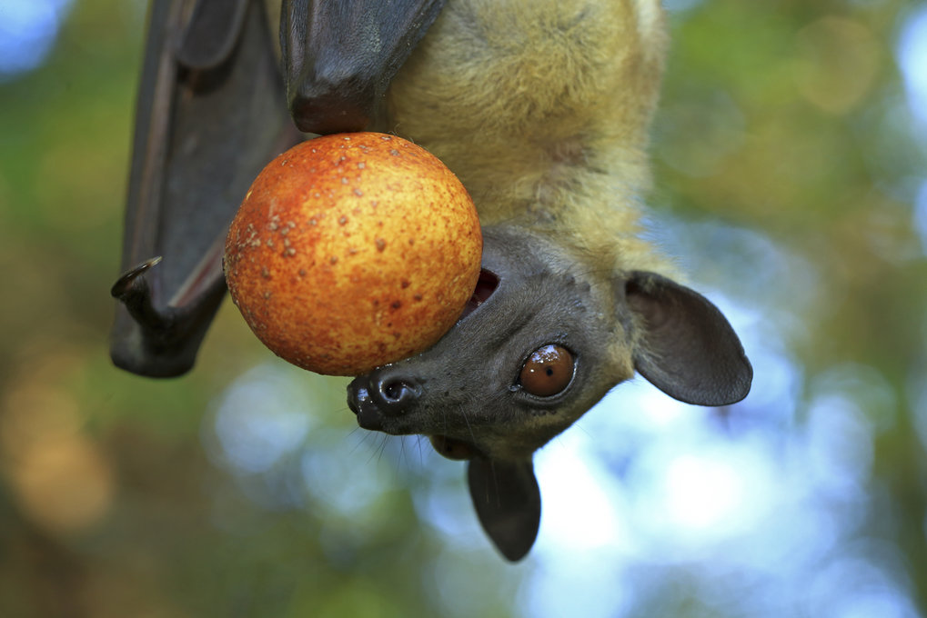 Palmenflughunde lieben Früchte über alles, zum Beispiel Dattelpalmen und Mangos – oder wie in diesem Fall Zuckerpflaumen, die Früchte von Uapaca kirki