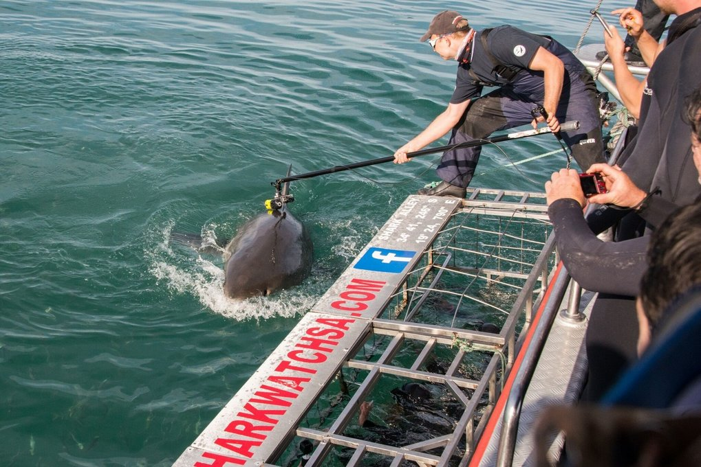 Wissenschaftler befestigen eine Kamera an der Rückenflosse eines Weißen Hais. Die Kameras mit eingebautem GPS-Sensor lösen sich nach wenigen Tagen wie