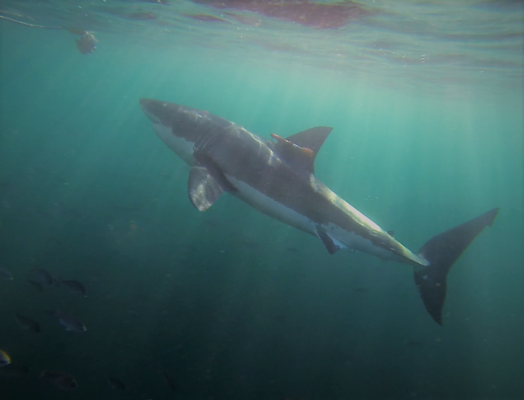 Weißer Hai mit einer an der Rückenflosse befestigten Kamera. Die Forscher haben das Tier mit einem Köder angelockt (links oben).